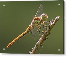 Dragonfly At Rest Acrylic Print