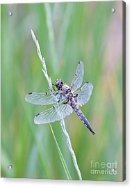 Dragonfly At Rest Acrylic Print by Sheri Van Wert
