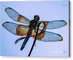 Dragonfly-blue Study Acrylic Print