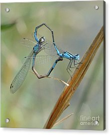 Dragonfly Courtship Acrylic Print by Amy Porter