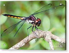 Dragonfly Acrylic Print by Dawna  Moore Photography