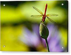Dragonfly Display Acrylic Print