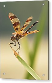 Dragonfly Dreams Acrylic Print
