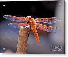 Dragonfly Eating An Insect Acrylic Print