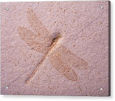 Dragonfly Fossil Acrylic Print by Martin Land/science Photo Library