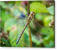 Acrylic Print featuring the photograph Dragonfly. by Gary Gillette