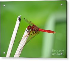 Dragonfly Acrylic Print by Gayle Swigart