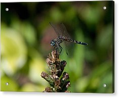 Acrylic Print featuring the photograph Dragonfly by Greg Graham