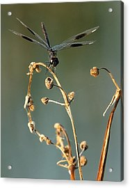 Acrylic Print featuring the photograph Dragonfly I by Dawn Currie