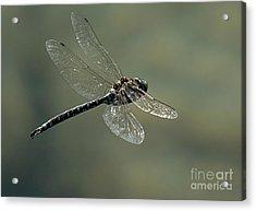 Dragonfly In Flight Acrylic Print by Bob Christopher