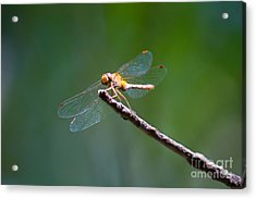 Dragonfly In The Sun Acrylic Print