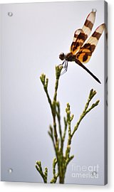 Dragonfly Lands Acrylic Print by Affini Woodley