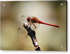 Dragonfly Light Acrylic Print by Christina Rollo