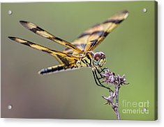 Acrylic Print featuring the photograph The Halloween Pennant Dragonfly by Olga Hamilton
