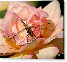 Dragonfly On A Rose Acrylic Print