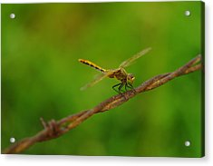 Dragonfly On Barbed Wire Acrylic Print by Jeff Swan