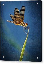Dragonfly On Blue Acrylic Print by Dawn Currie