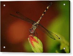 Acrylic Print featuring the photograph Dragonfly On Hibiscus by Leticia Latocki