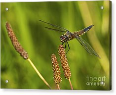 Dragonfly On Seed Pod 2 Acrylic Print by Sharon Talson