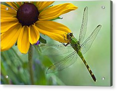 Dragonfly On Yellow Flower Acrylic Print by Dancasan Photography