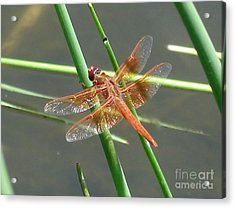Acrylic Print featuring the photograph Dragonfly Orange by Kerri Mortenson