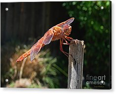 Dragonfly Stretching Acrylic Print by Susan Wiedmann