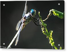Dragonfly Taking A Rest  Acrylic Print by Steven  Taylor