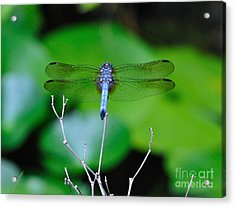 Dragonfly Water Lily - Blue Dragonfly At Rest Over Water Lilies Acrylic Print by Wayne Nielsen