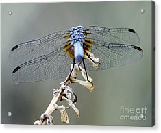 Dragonfly Wing Details II Acrylic Print
