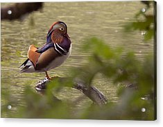 Drake Mandarin Duck Acrylic Print