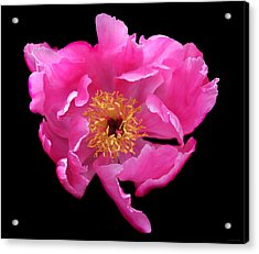 Dramatic Hot Pink Peony Flower Acrylic Print by Jennie Marie Schell