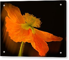 Dramatic Orange Poppy Acrylic Print