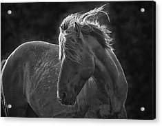 Dramatic Wild Mustang Acrylic Print
