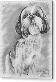 Drawing Of A Shih Tzu Acrylic Print