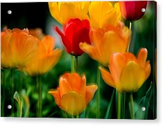 Dream Tulips Acrylic Print by Michael Hubley