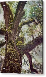 Dreamer's Oak Acrylic Print