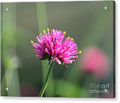 Dreaming In Fuschia II Acrylic Print by Suzanne Gaff