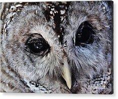 Dreaming Owl Acrylic Print