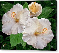 Dreamy Blooms - White Hibiscus Acrylic Print by Ben and Raisa Gertsberg