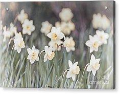 Dreamy Daffodils Acrylic Print by Elena Elisseeva