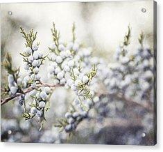 Dreamy Pastel Juniper Berries Acrylic Print by Lisa Russo