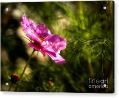 Acrylic Print featuring the photograph Dreamy Pink Comos by Marjorie Imbeau