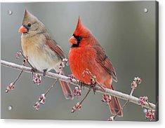 Dreamy Redbirds Acrylic Print by Bonnie Barry