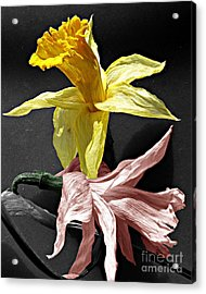 Acrylic Print featuring the photograph Dried Daffodils by Nina Silver