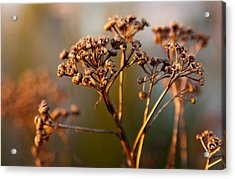 Acrylic Print featuring the photograph Dried by Erin Kohlenberg