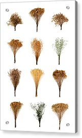 Dried Flowers Collection Acrylic Print by Olivier Le Queinec