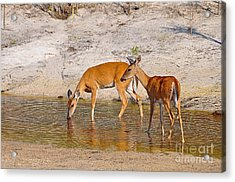 Drinking Does Acrylic Print