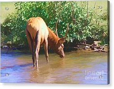 Drinking Elk Acrylic Print by Audreen Gieger