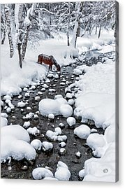 Drinking In Snow Acrylic Print by Hua Zhu