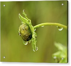Drip Drip - Raindrops On Coreopsis  Acrylic Print